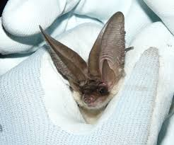 conserving grey long eared bats across our landscape a