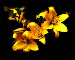 Yellow Lilies Solomon In All His Glory Lilies Sparrows And Grass