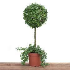 Azalea Topiary Superior Live Ivy Topiary Part 13 Pottery Barn Live Ivy