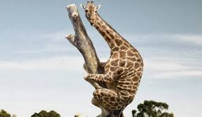 Meme Giraffe - ramblings by alexis giraffe riddle answer meme wrongly with photos