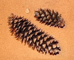 white pine cone do you know your cones u2013 naturally north idaho