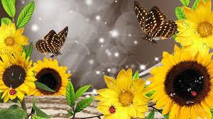 foto wallpaper bunga matahari bunga matahari setelah hujan hd wallpaper desktop lebar definisi