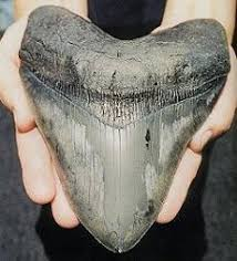 biggest megalodon shark vito bertucci world s largest shark jaw