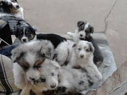 australian shepherd gray awesome aussies of orland park puppies for sale