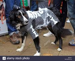 Dog Skeleton Halloween Halloween Dog Walk Stock Photos U0026 Halloween Dog Walk Stock Images