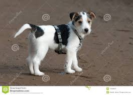 white parson russell terrier google search dog our woody a