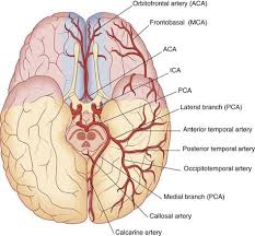 Vascular Anatomy Of The Brain Blood Supply Of The Brain Clinical Gate