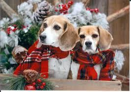 christmas beagles u003c3 so cute beagle puppies pinterest