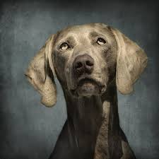 portrait of a weimaraner poster by wolf shadow photography