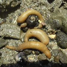the sipuncula or sipunculida is a group containing 144 u2013320 species