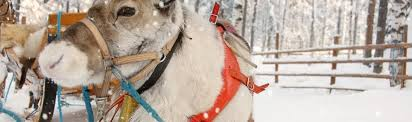rudolph female 5 facts reindeer