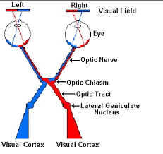 Eye Anatomy And Physiology Neuroscience For Kids The Eye And Its Connections