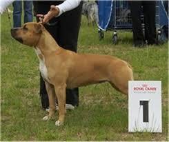 american pitbull terrier z hter deutschland shows