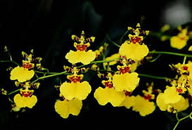 oncidium orchid pictures of flowers oncidium orchids
