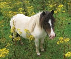 Signs Of Blindness In Horses Ragwort World Horse Welfare