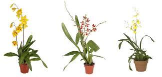 oncidium orchid orchid oncidium costa farms