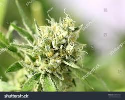 cannabis flower detail cannabis plant lemon og marijuana stock photo 230872537