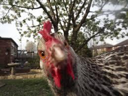 quietest chicken breeds uk with quiet chickens chicken coop
