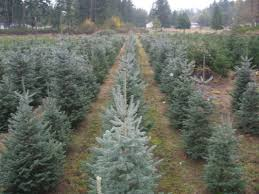 5 christmas tree farms in pierce county southsoundtalk
