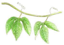 Rainforest Passion Flower - the rainforest garden win my header art from gardening gone wild