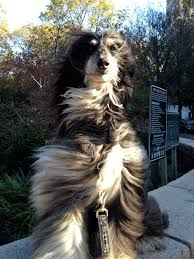 afghan hound therapy dog dogs of new york u2013 sisu the afghan hound thepupdiary com the