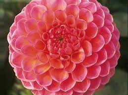 dahlias flowers dahlia flowers add drama to your garden hgtv
