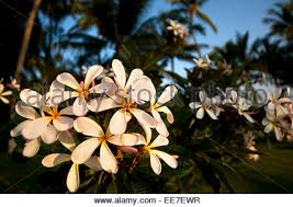 Most Fragrant Plants - plumeria flowers frangipani are most fragrant at night in order