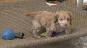 cockapoo puppies for sale lucy u0026 walter dyerfarms com youtube