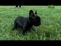 afghan hound puppies youtube french bulldog puppies for sale
