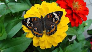 festival of butterflies powell gardens kansas city s botanical
