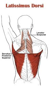 Muscle Anatomy Of Shoulder Back Anatomy All About The Back Muscles