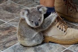 Koala Meme - baby koala clinging to a leg video