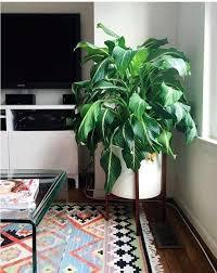 home interior plants low light indoor plants best indoor plants brisbane zanzibar gem