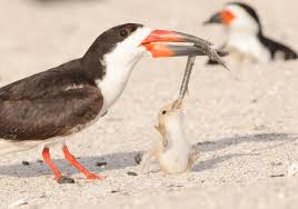 black skimmer audubon field guide