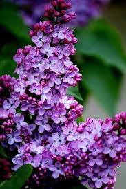 lilac flowers andy wants lilac trees bordering our backyard fence line can t