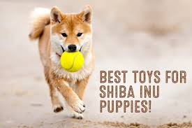 What Breed Is Doge Meme - how much do shiba inu puppies cost my first shiba inu