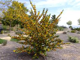 northern california native plants image result for california glory fremontia trees pinterest