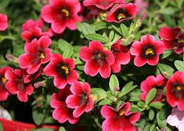 hybrid superbells are a colorful garden hit mississippi state