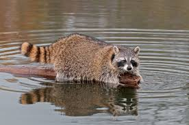 california raccoon hunting seasons and trapping we u0027ve moved to