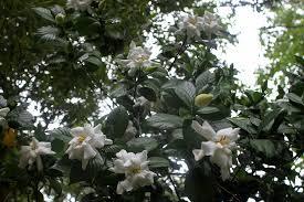 Gardenias by A Garden Of Gardenias Beautifulgardener