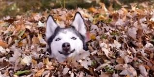 funny thanksgiving dog pictures funny dog playing in leaves