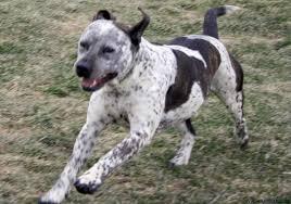 australian shepherd queensland heeler mix pictures bull and terrier dog puppy dog gallery