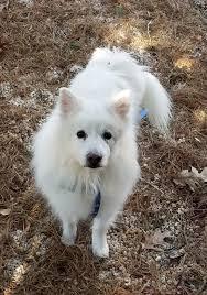 american eskimo dog growling wolfie of pa u0027s web page