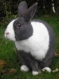gray dutch rabbit dutch rabbits might just be my favorite breed