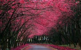 pink tree wallpapers wallpaper cave beutiful places
