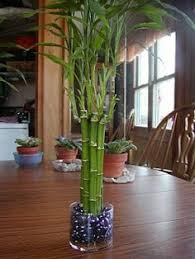 care for an indoor bamboo plant indoor bamboo plant bamboo