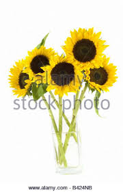 Vase Of Sunflowers Sunflowers In Glass Vase Stock Photo Royalty Free Image 33440541