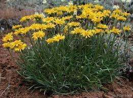 desert yellow daisy yellow desert daisy desert yellow fleabane