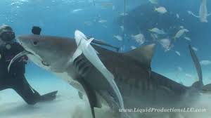 tiger sharks of tiger beach youtube