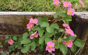 15 pink plants that will look amazing in your garden garden